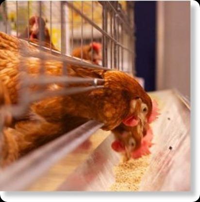 Pollos_industriales2