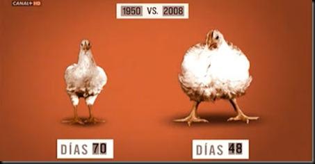 pollos_industriales