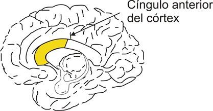 cíngulo anterior del córtex